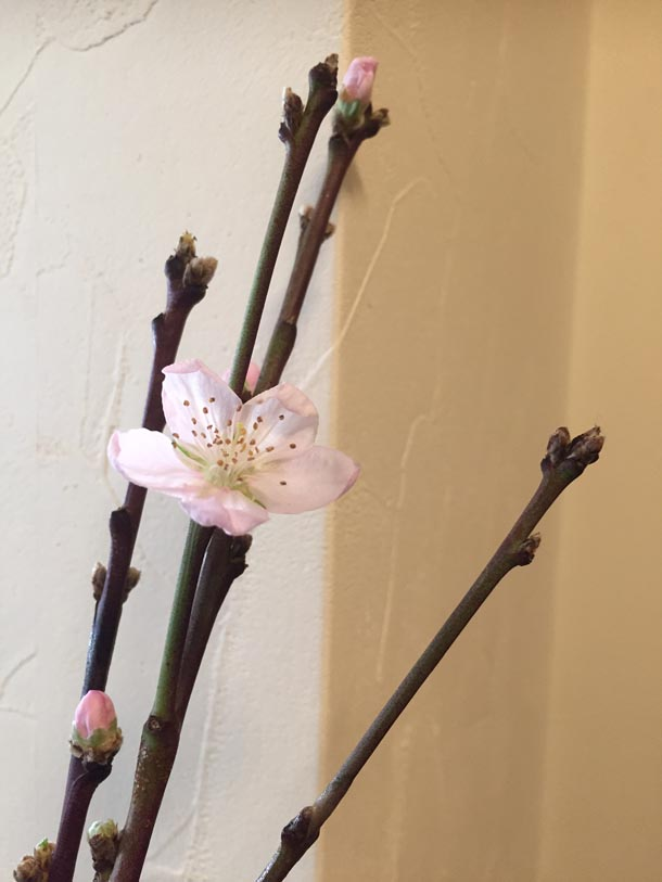 特別な桃の花