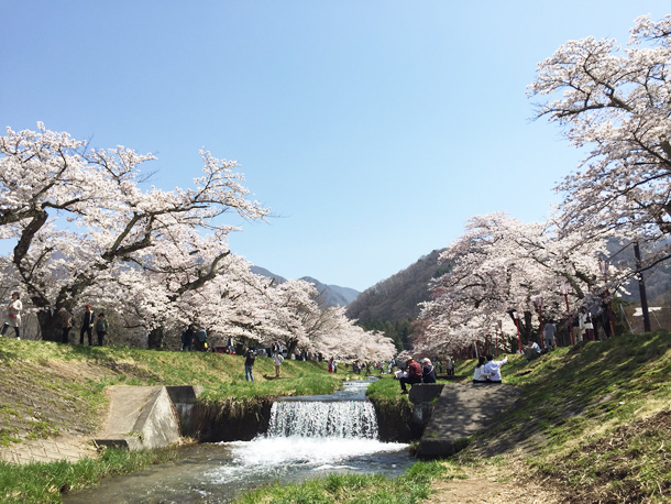 満開の桜に会いに猪苗代町へ!浜ちゃんぽ