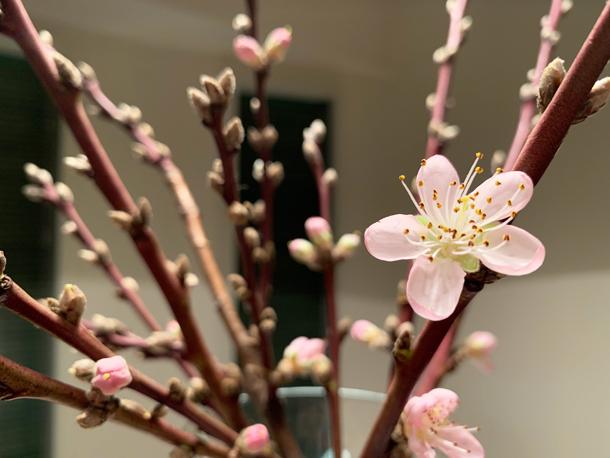 桃の節句に 桃の花~