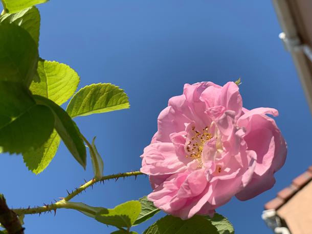 バラの良い香り〜