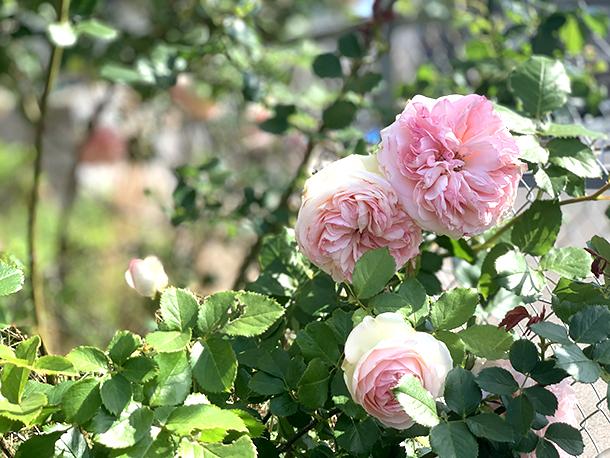 今年もバラの季節、到来!